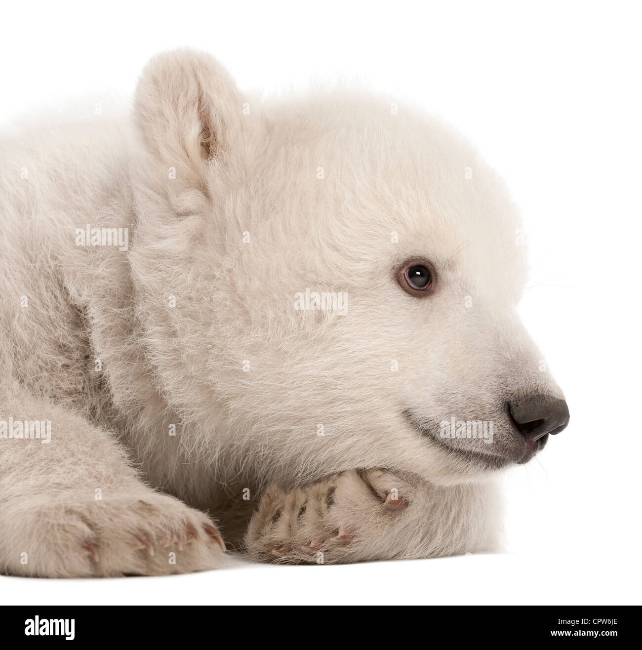 Polar bear cub,  Ursus maritimus, 3 months old against white background Stock Photo