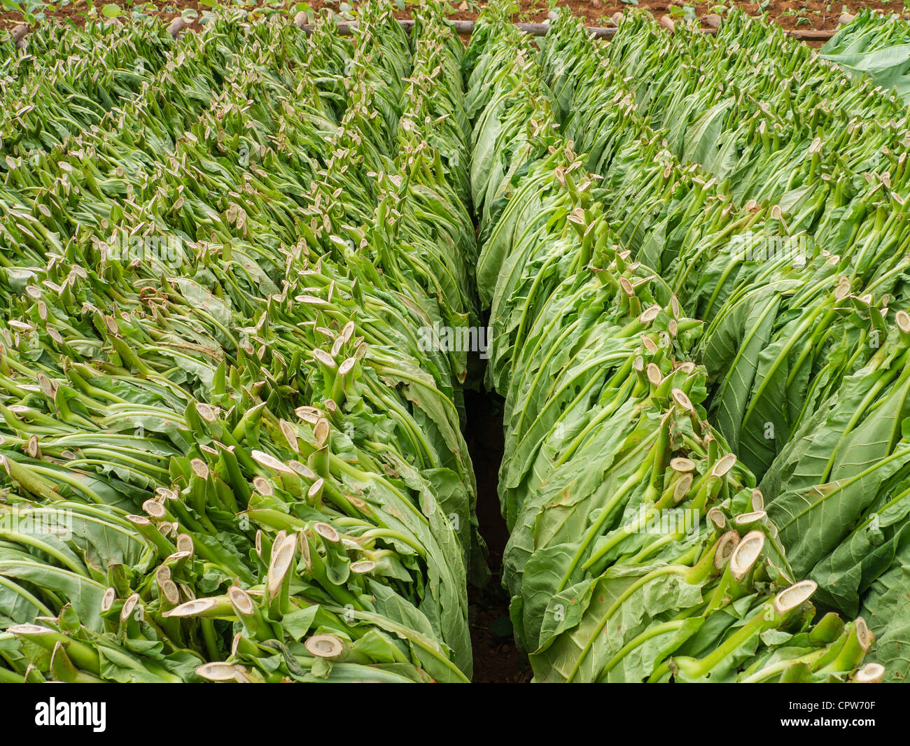 Rows of freshly cut green tobacco leaves are lined up drying outside in a field near Viñales, Cuba - Stock Image
