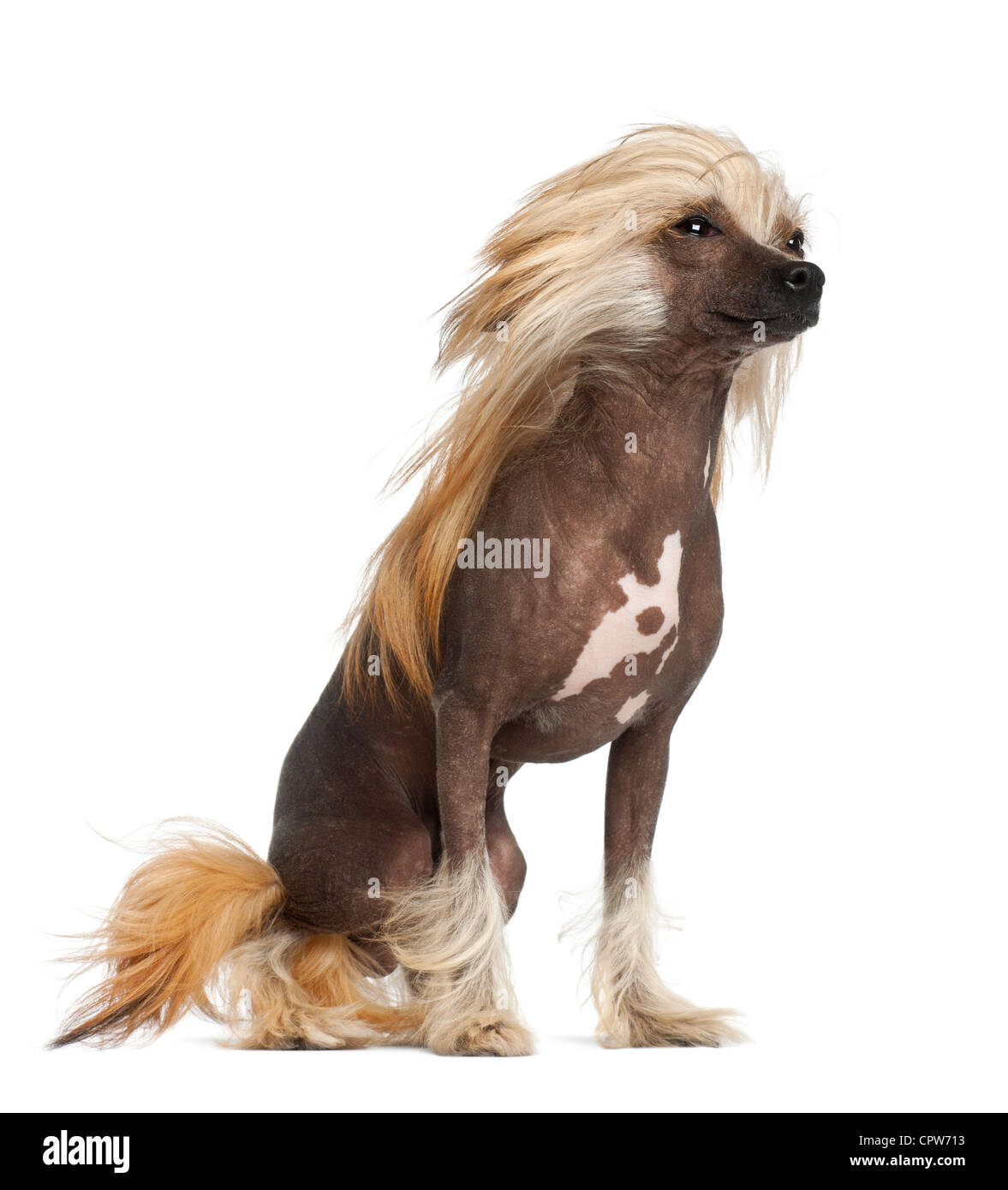 Chinese Crested Dog, 9 months old, sitting against white background - Stock Image