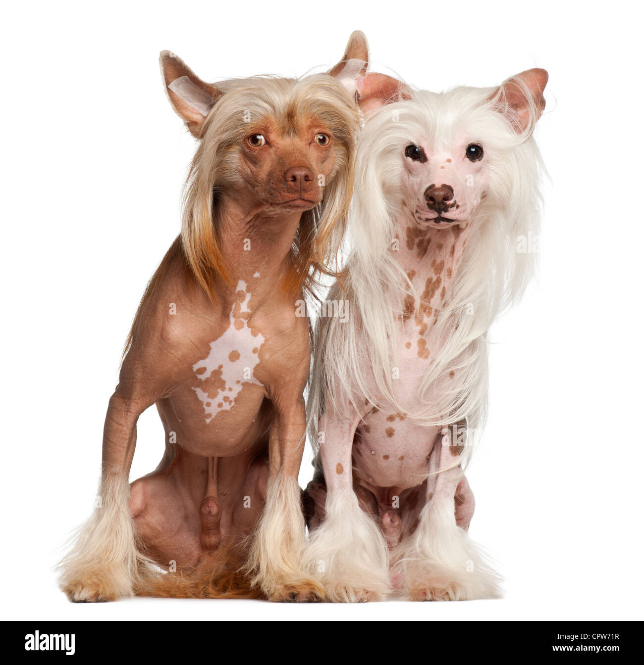 Chinese Crested Dogs, 11 and 16 months old, sitting against white background - Stock Image