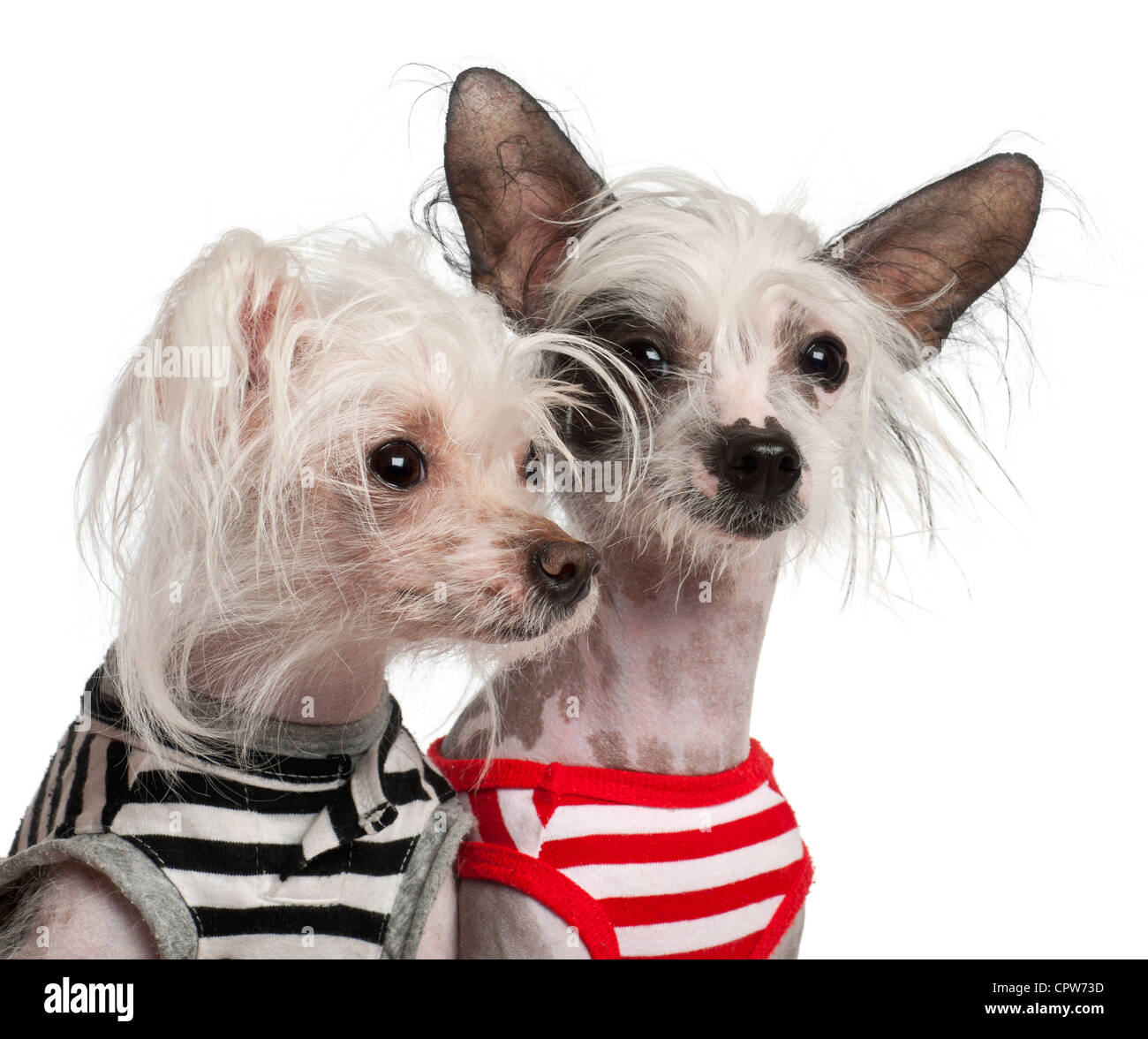 Chinese Crested Dog, 10 and 18 months old, in striped vests against white background - Stock Image