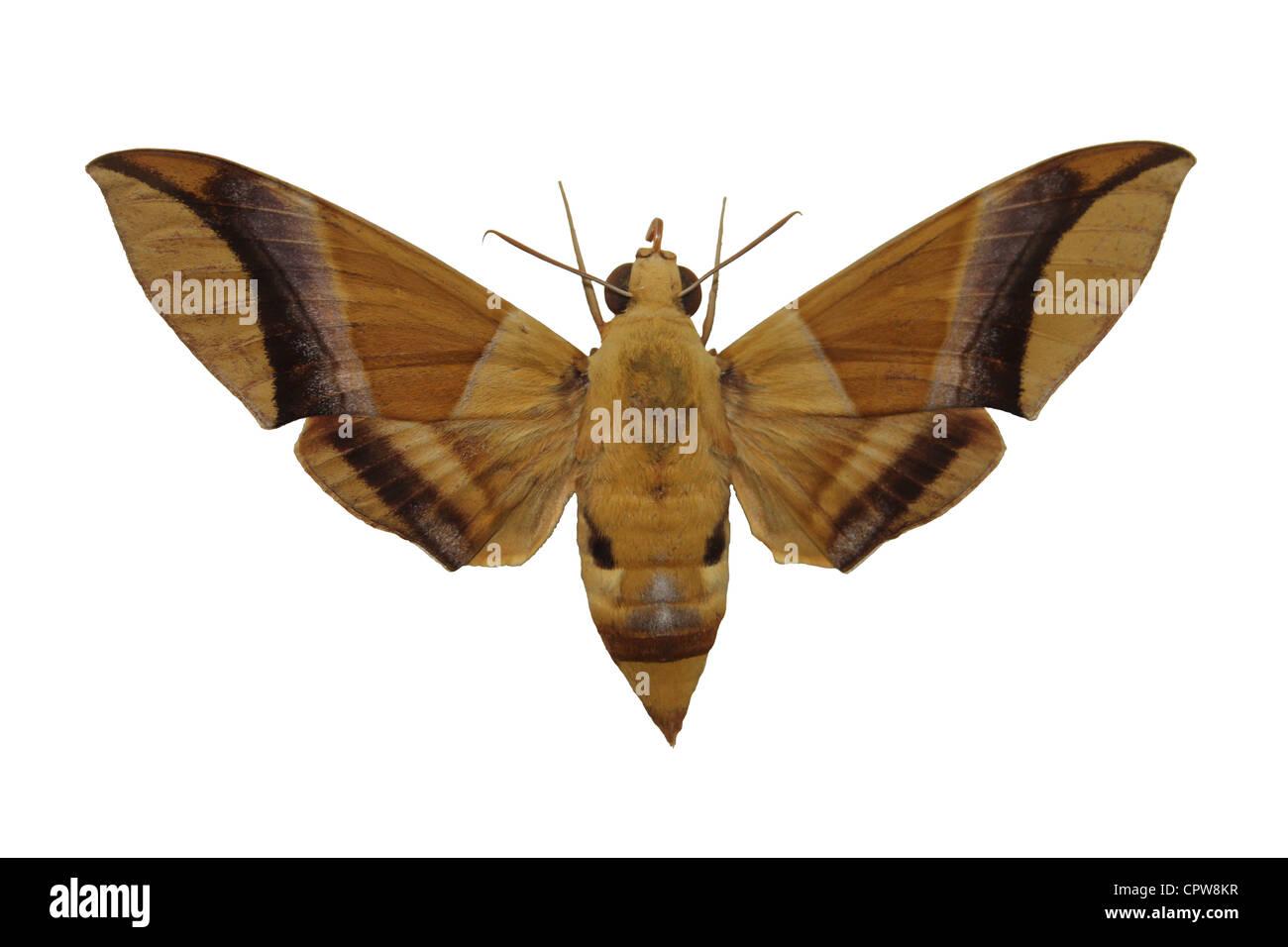 Hawk Moth Cut-out Stock Photo