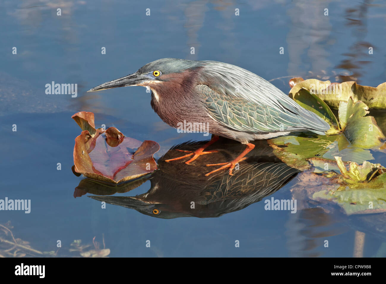An adult Green Heron patiently waiting whilst fishing - Stock Image