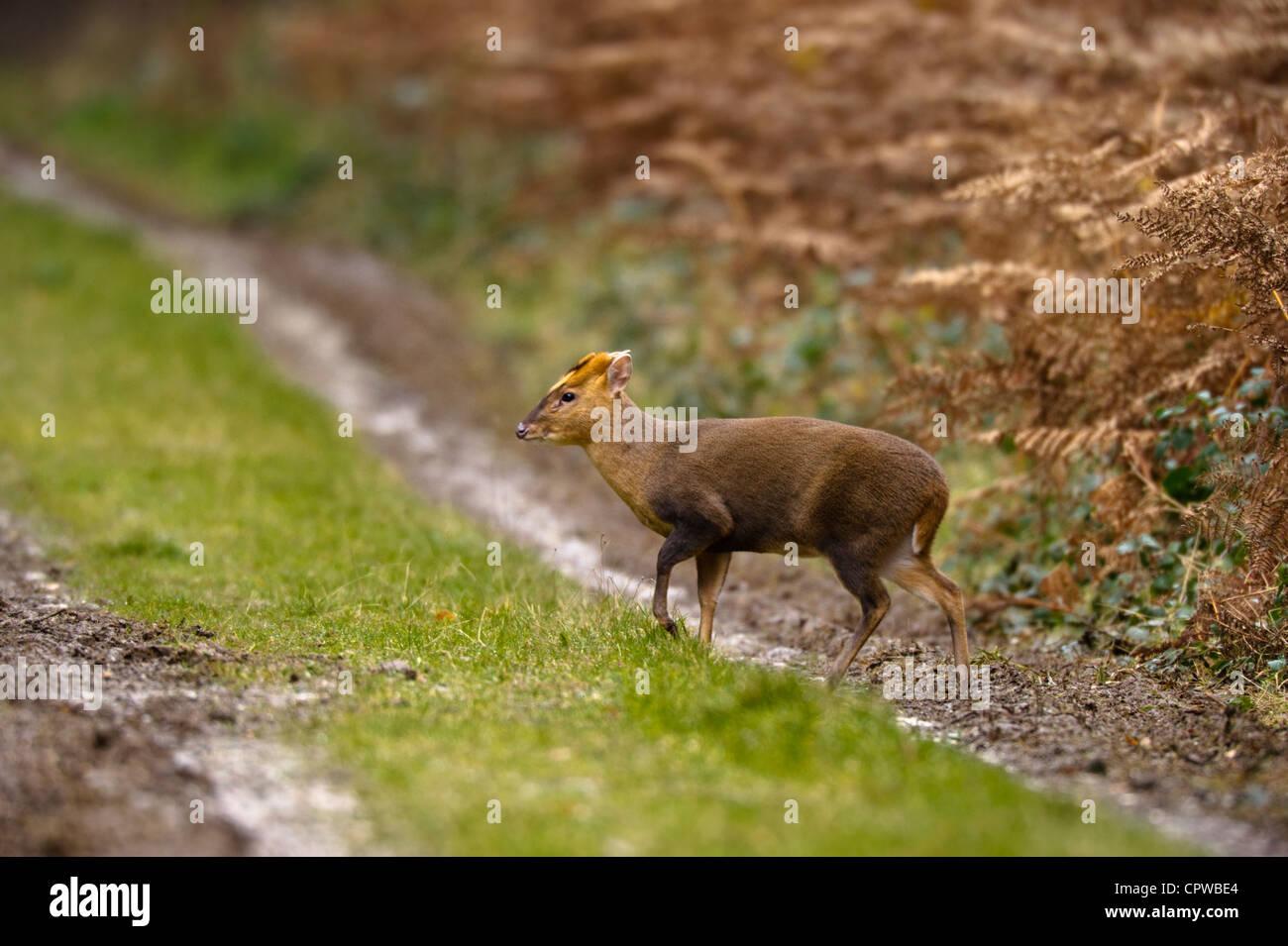 Reeves Muntjac (Muntiacus reevesi) crossing a woodland track in Norfolk. - Stock Image