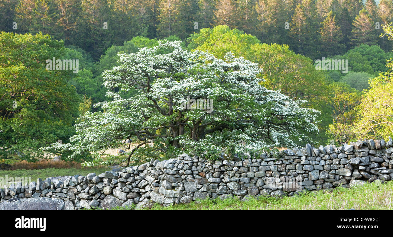 Hawthorne tree in blossom by dry stone wall, Snowdonia National Park, North Wales, UK - Stock Image