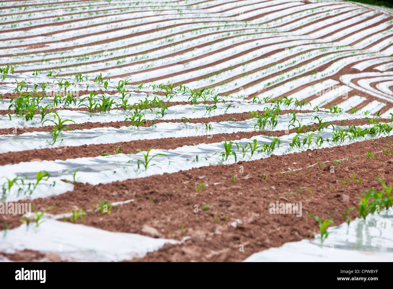 Corn on the Cob being grown under plastic sheeting, Worcestershire, England, UK - Stock Image