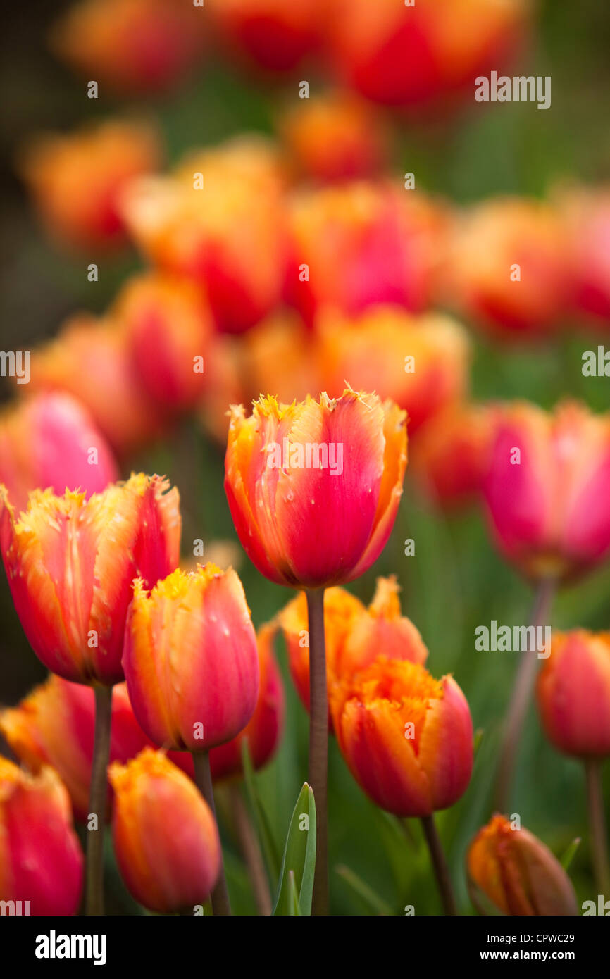 Red and Yellow tulips, England, UK - Stock Image