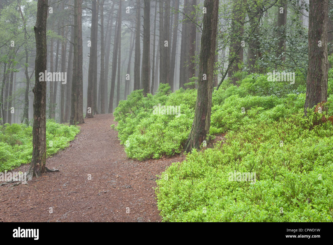 Conifer woodland in mist with blueberry bushes, England, UK - Stock Image