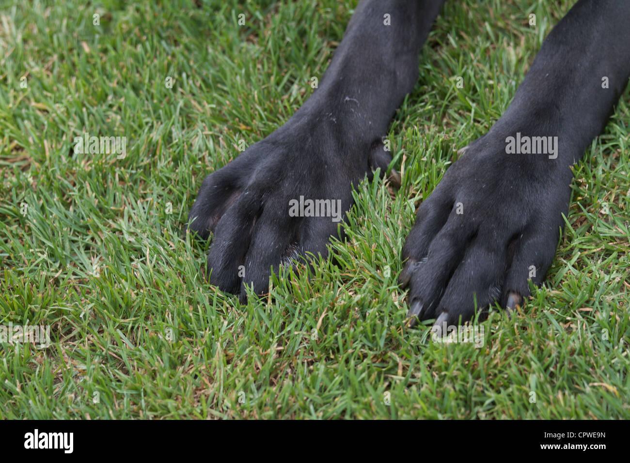Big black german mastiff Stock Photo