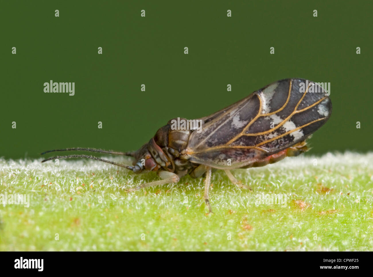 Wattle psyllid adult insect - Stock Image