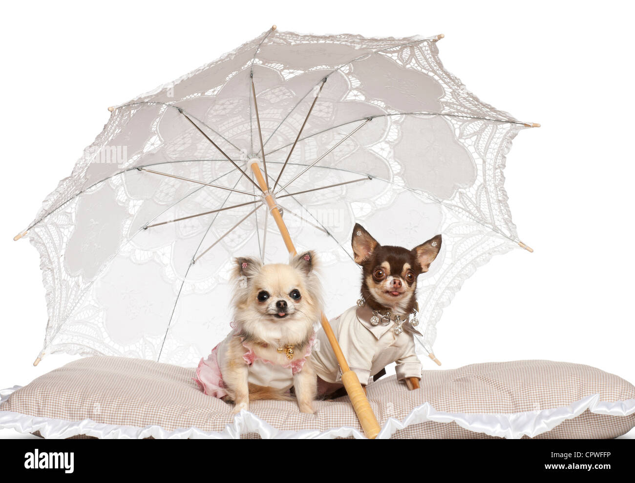 Chihuahuas, 2 and 4 years old, sitting under parasol in front of white background - Stock Image