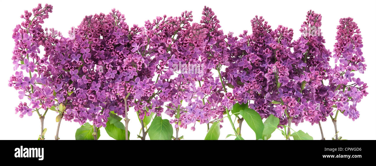 Big purple flowers stock photos big purple flowers stock images branches of a purple lilac big border isolated on white stock image mightylinksfo