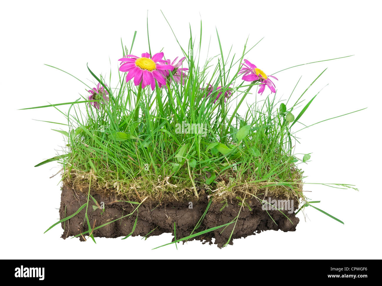 Bunch of lawn, turf clod ( earths, compost, humus) with a grass and pink camomiles isolated. My lovely EARTH concept - Stock Image