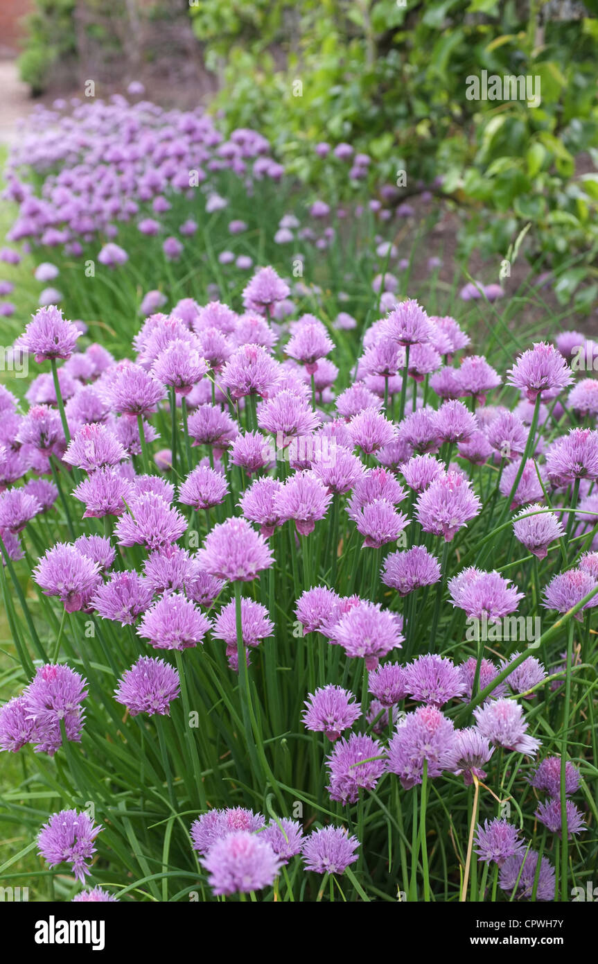 Chives growing in a garden flower border, England, UK - Stock Image