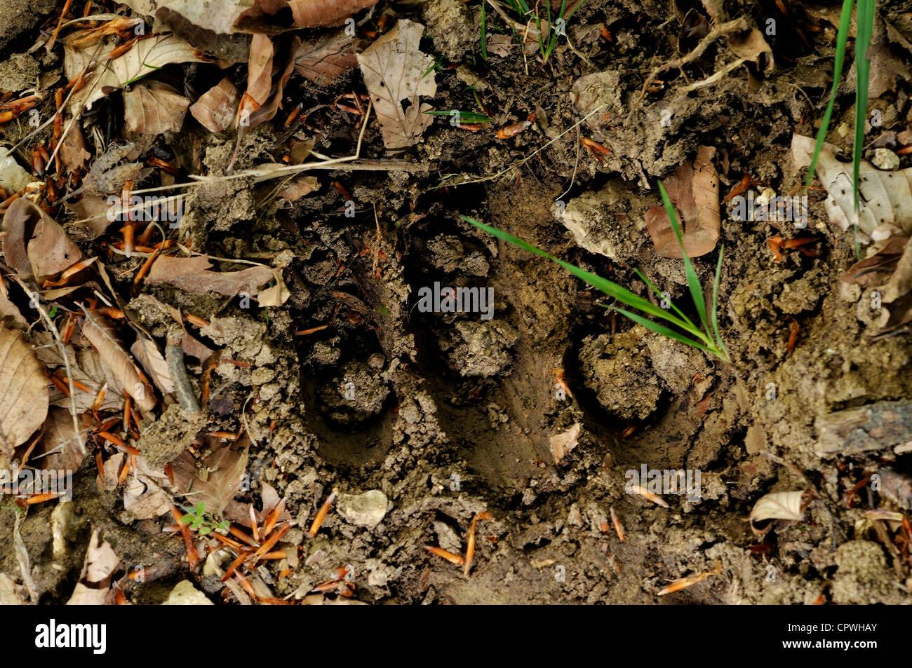 Footprint of Marsicanus brown bear (Ursus arctos marsicanus) in the Abruzzo National Park, Italy - Stock Image