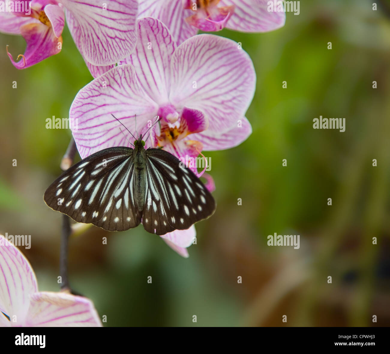 Rare beautiful orchid flower stock photos rare beautiful orchid beautiful rare violet orchid phalaenopsis with butterfly stock image izmirmasajfo