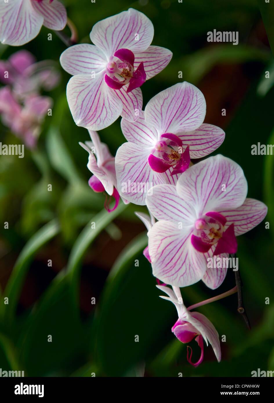 Rare Beautiful Orchid Flower Stock Photos Rare Beautiful Orchid