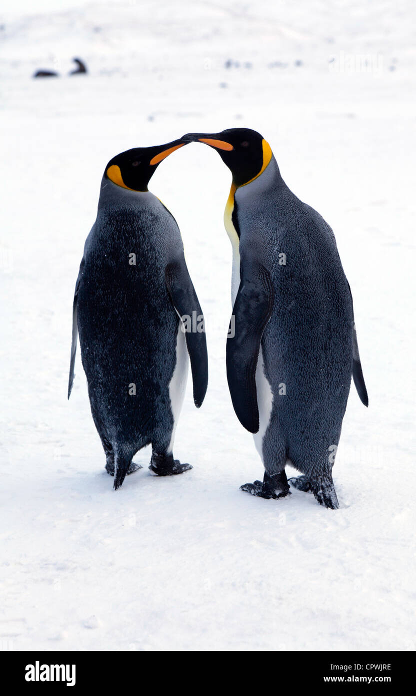 Two King Penguins at St Andrew's Bay, South Georgia Island - Stock Image