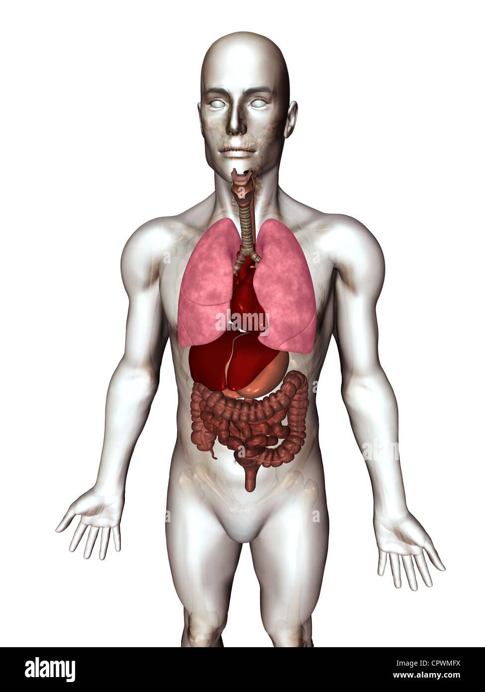 Anatomical Body Showing Organs Stock Photos & Anatomical Body ...