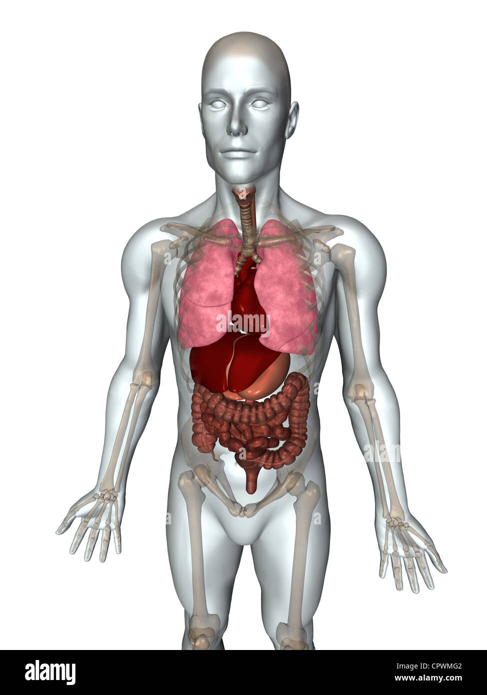 Anatomical Illustration Of The Human Body Showing The Major Organs