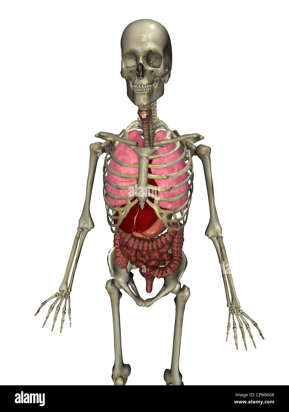 Anatomical illustration of the human body showing the major organs ...
