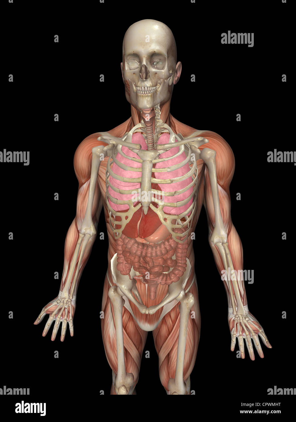 Anatomical illustration of the human body showing the major organ anatomical illustration of the human body showing the major organ ccuart Image collections
