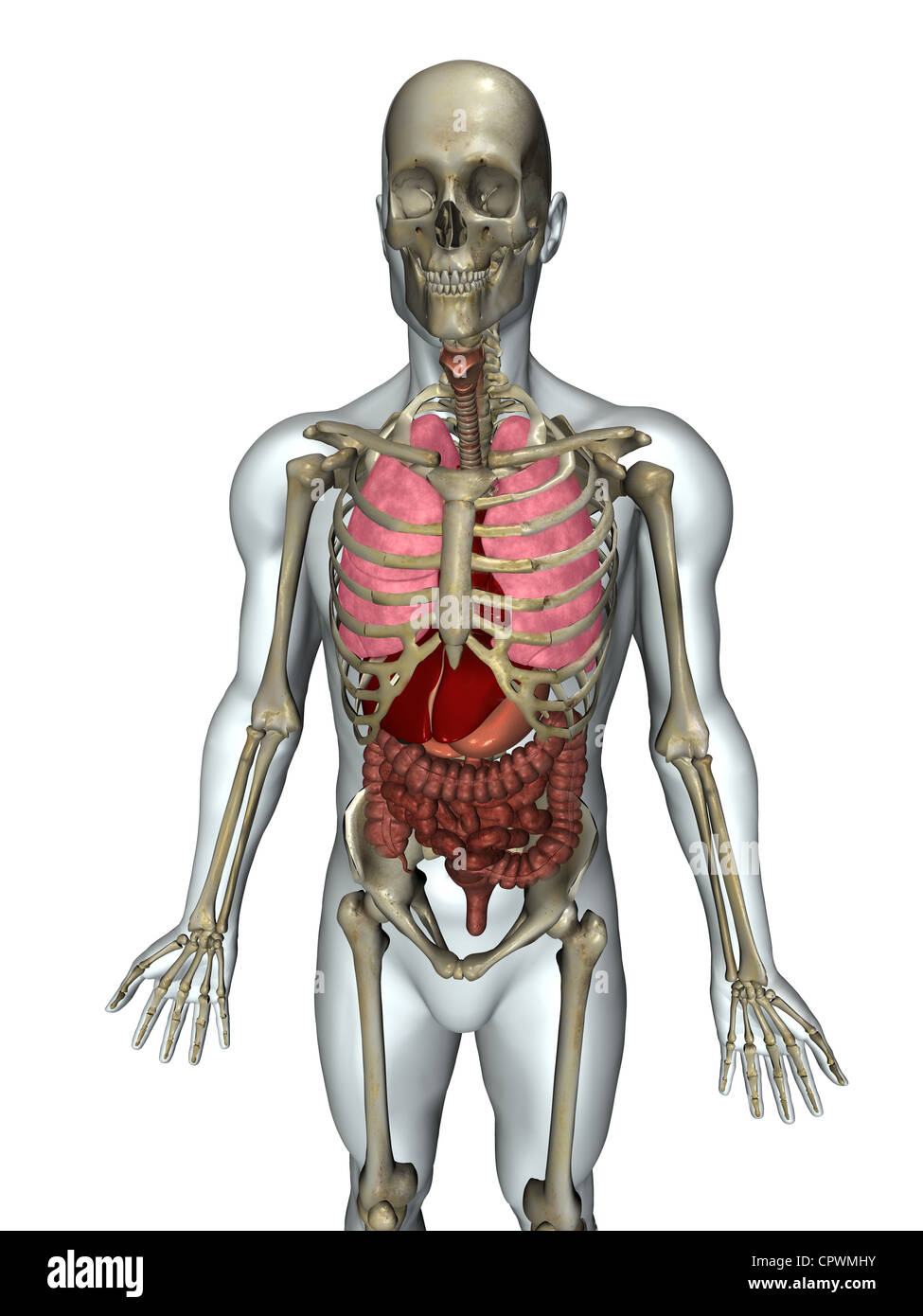 Human Major Organs Stock Photos Human Major Organs Stock Images