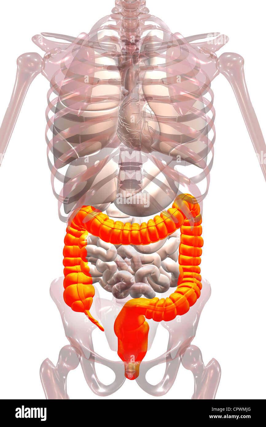 Anatomical Illustration Showing The Appendix Cecum And Colon Stock