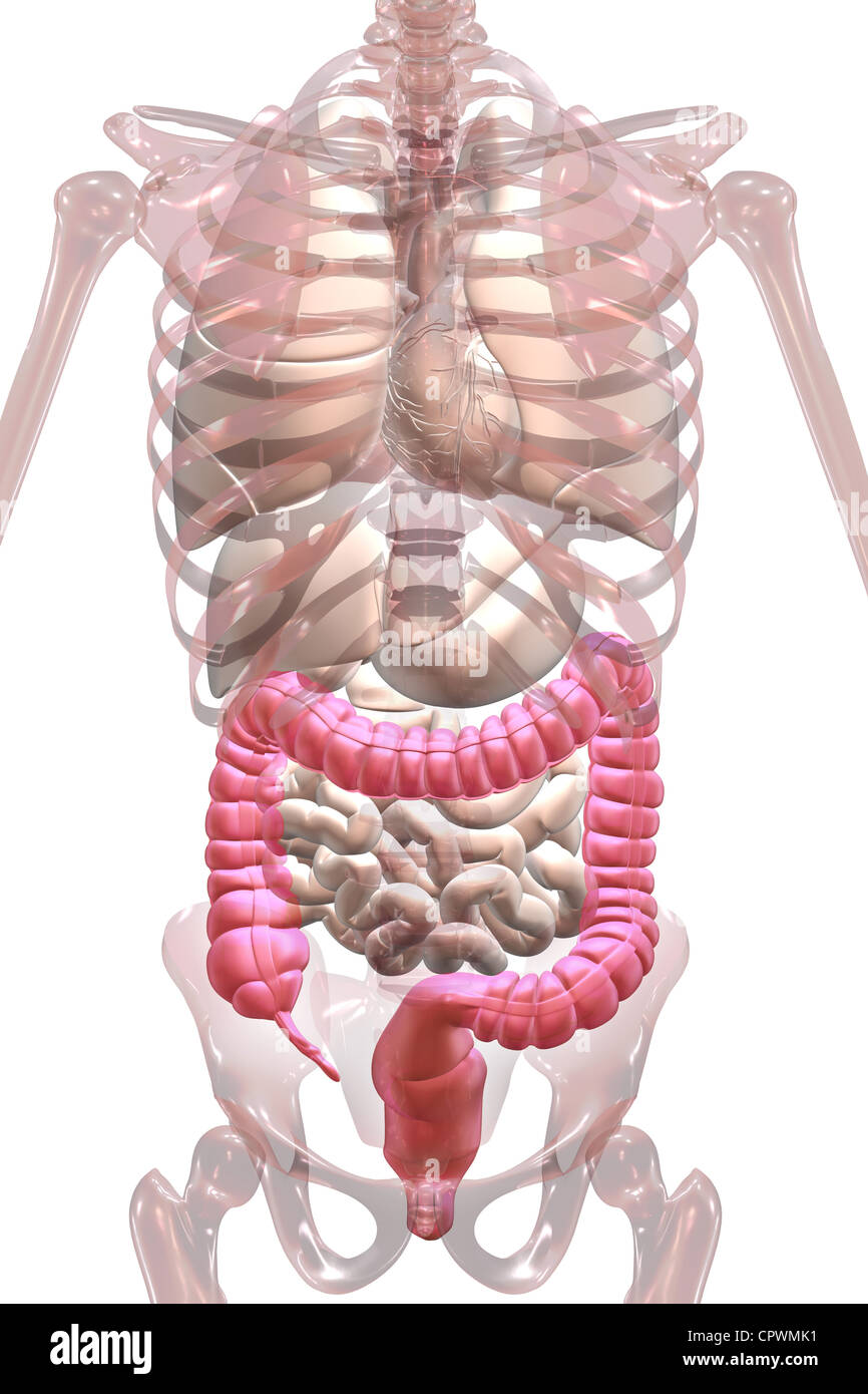 Cecum Stock Photos & Cecum Stock Images - Alamy