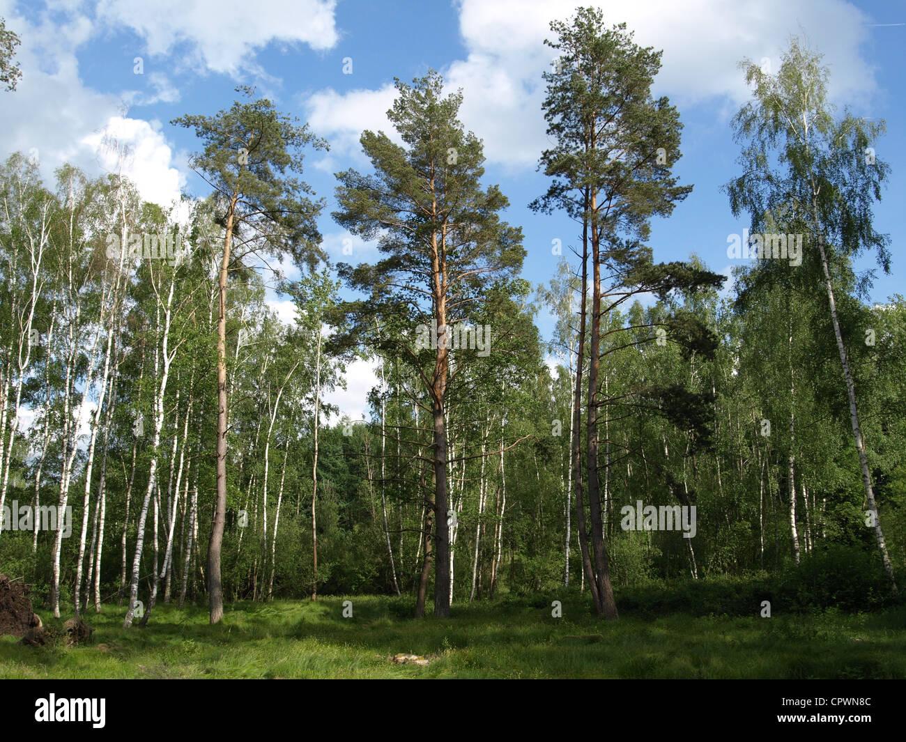 wood and meadow  in the Arrach high moor / Wald und Wiese im Arracher Hochmoor Stock Photo