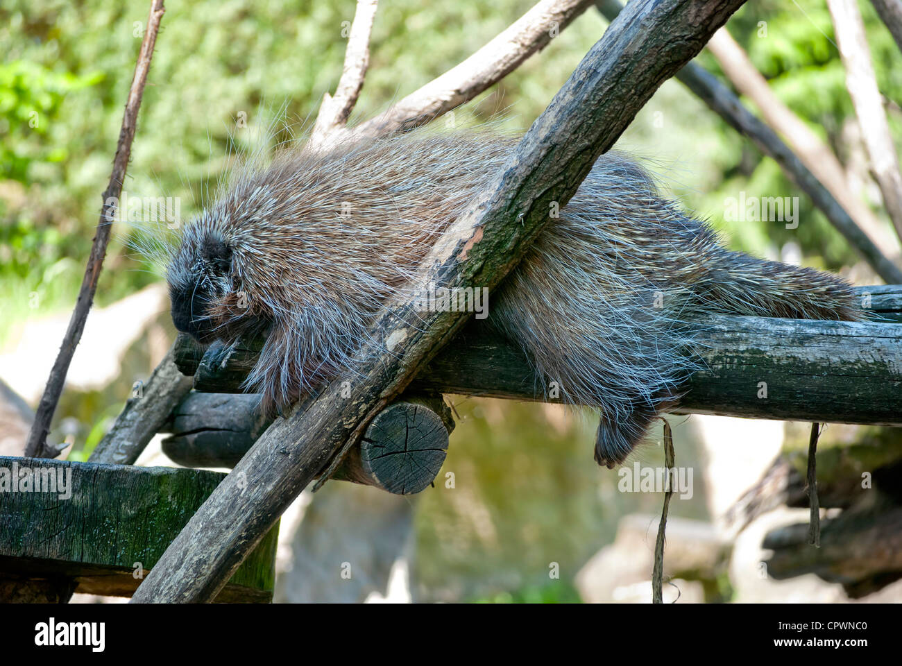 New world porcupine sleeping on the tree - Stock Image
