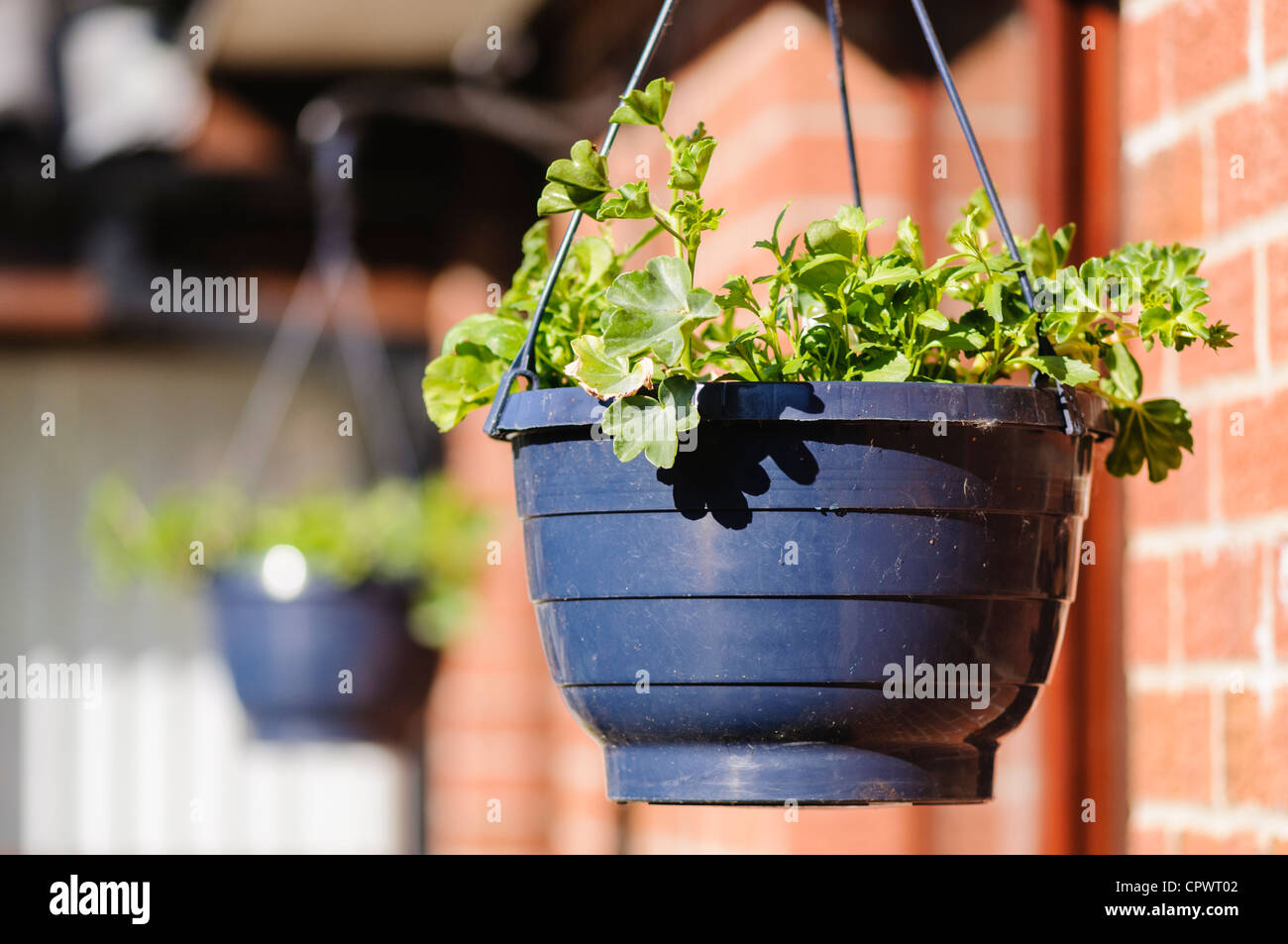 Newly planted geraniums in hanging baskets - Stock Image