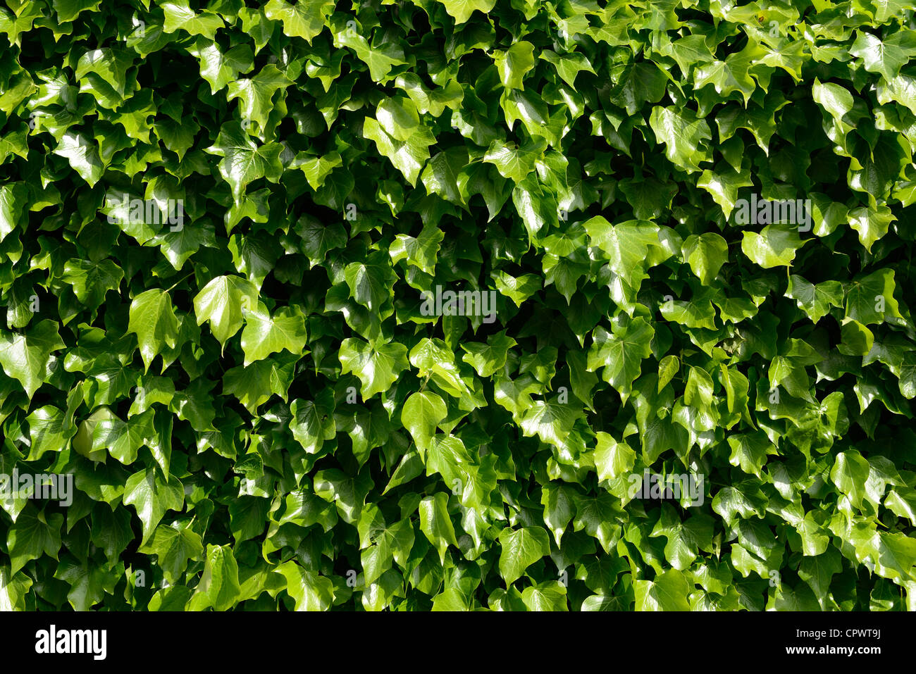 Wall of green ivy leaves - Stock Image