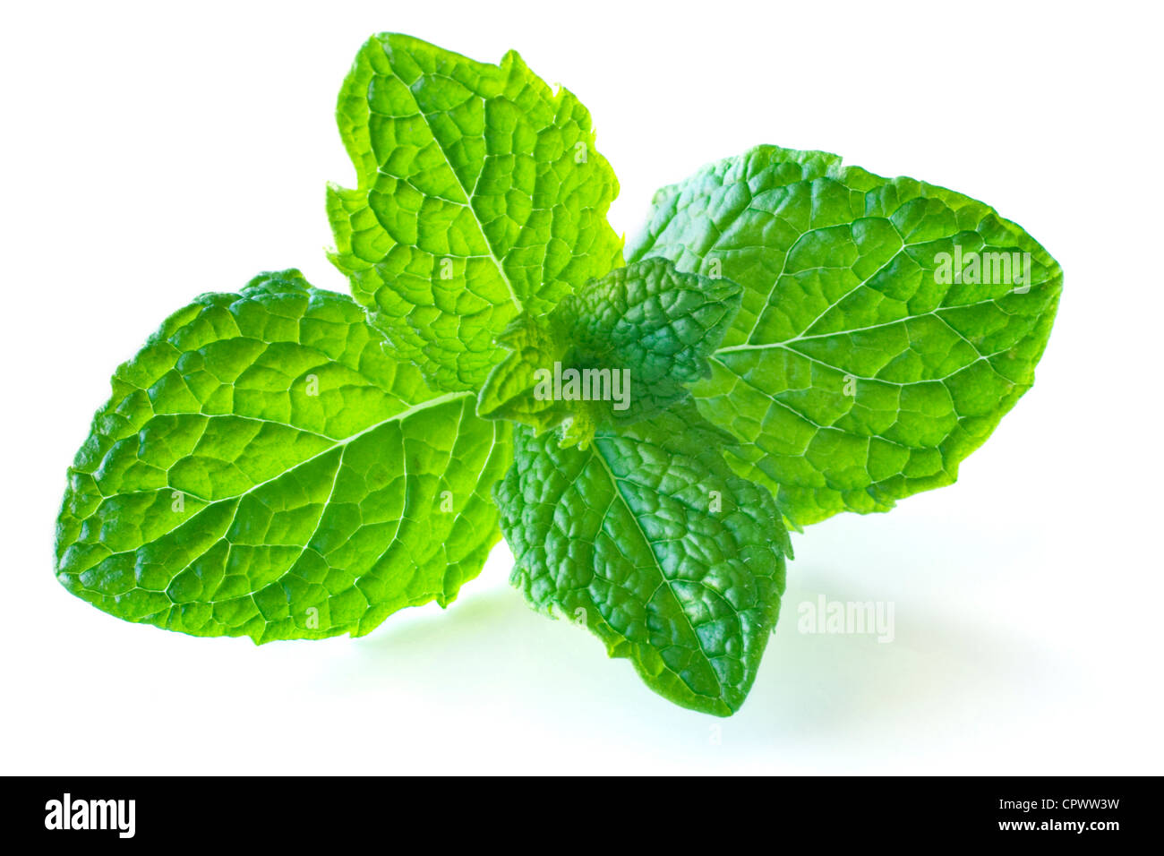 Sprig of mint, isolated on white, with soft natural shadow. - Stock Image