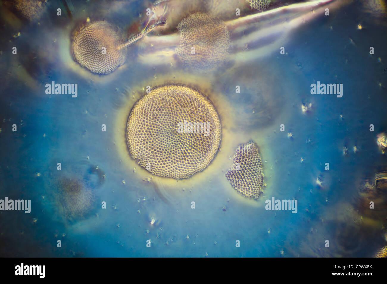 Darkfield photomicrograph, Pliocene fossil marine diatoms, Oran Algeria - Stock Image