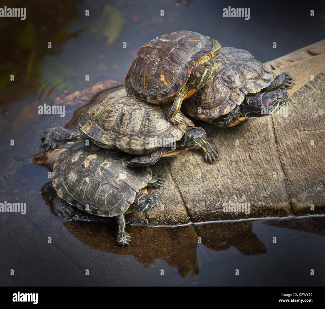 A group of basking red-eared slider turtles, Trachemys scripta elegans - Stock Image