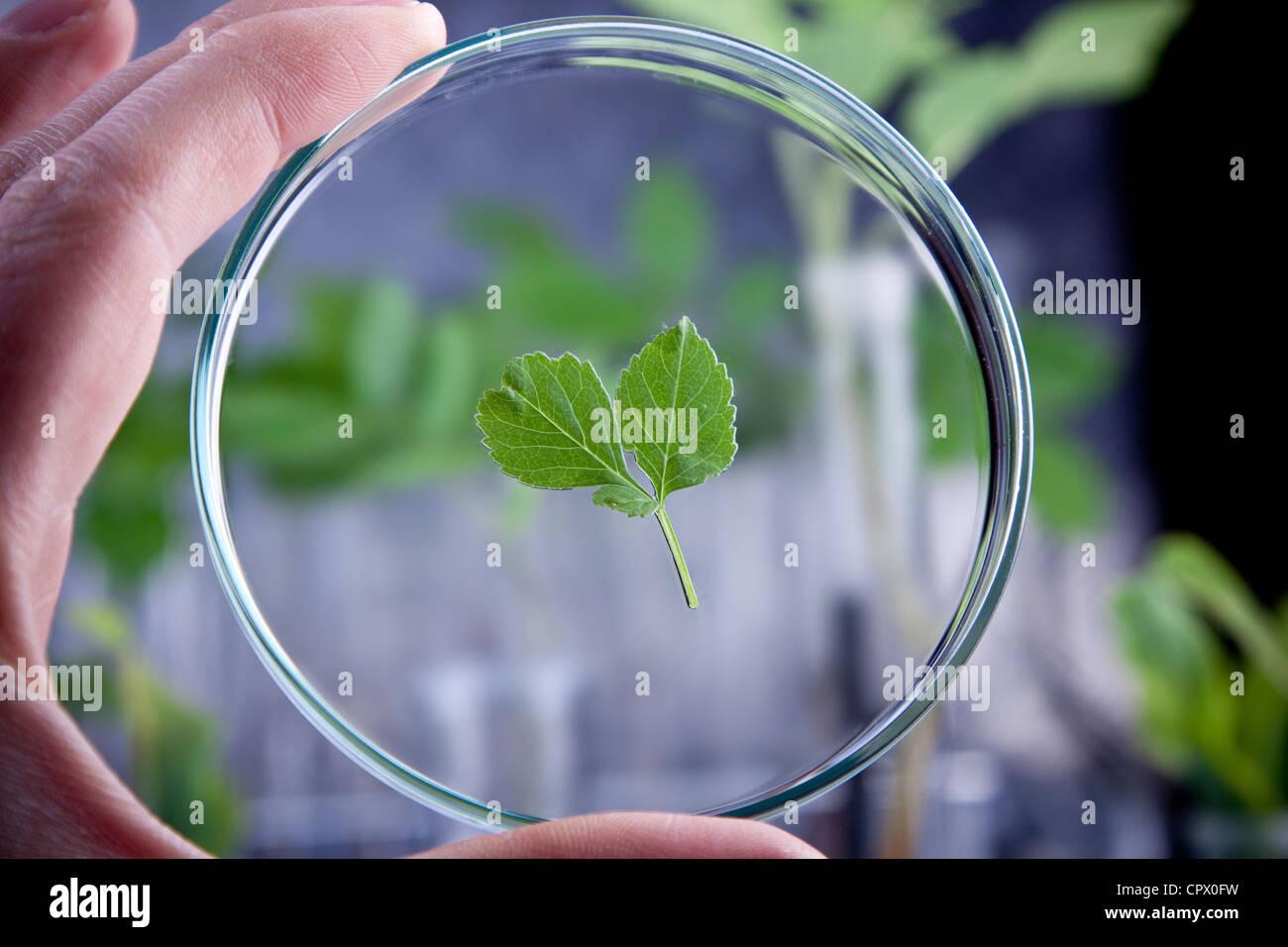 Laboratory glassware, experiments on plants - Stock Image