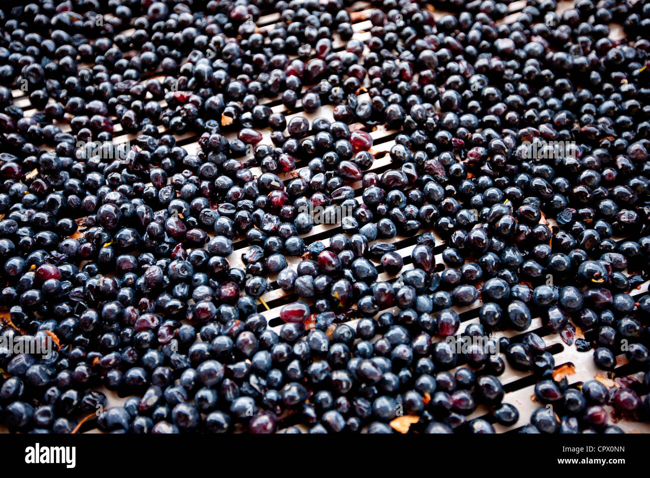 Ripe Brunello grapes, Sangiovese, sorted on conveyor belt at wine estate La Fornace at Montalcino in Val D'Orcia, - Stock Image