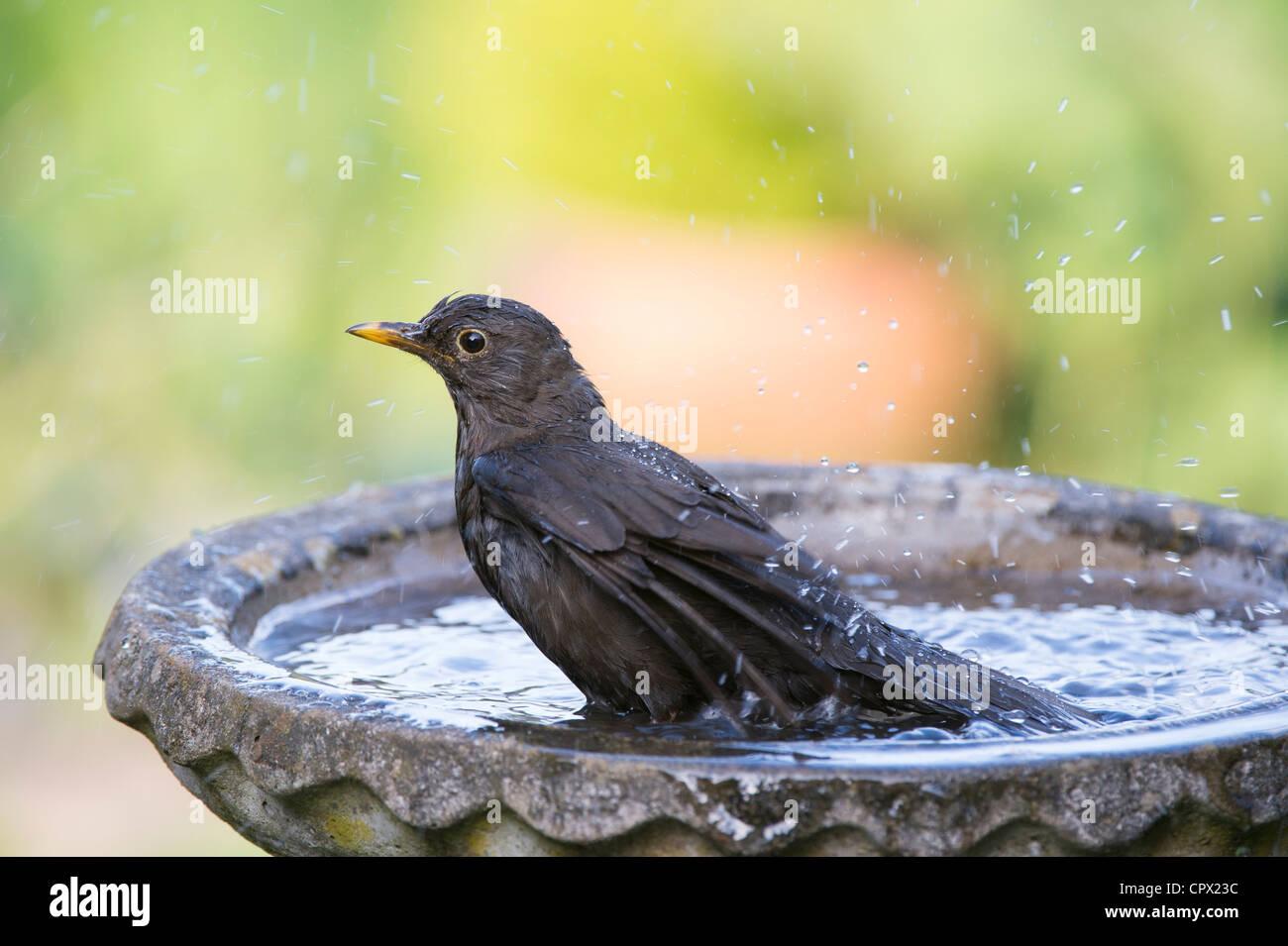Turdus merula . Female blackbird washing in a bird bath - Stock Image