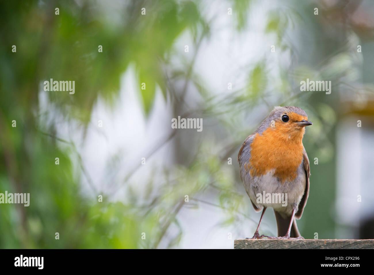 Robin perched on a garden trellis in an english garden - Stock Image