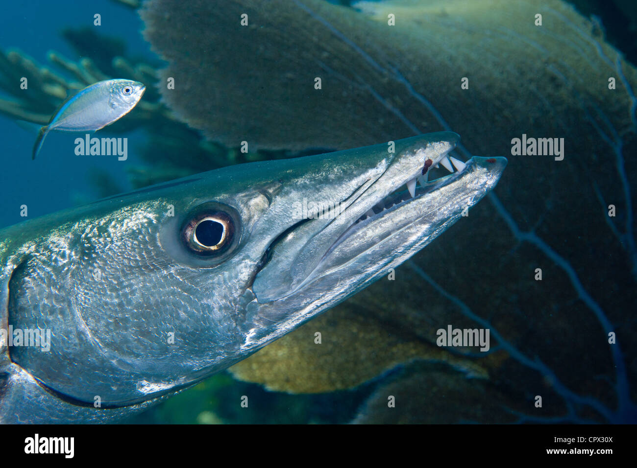 Closeup of Great Barracuda Stock Photo