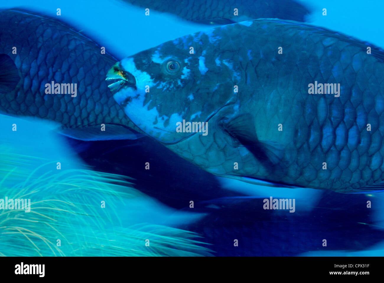 Midnight Blue Parrotfish - Stock Image