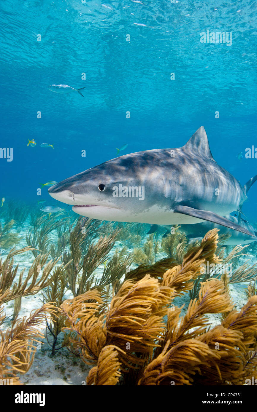 Tiger shark on the prowl - Stock Image