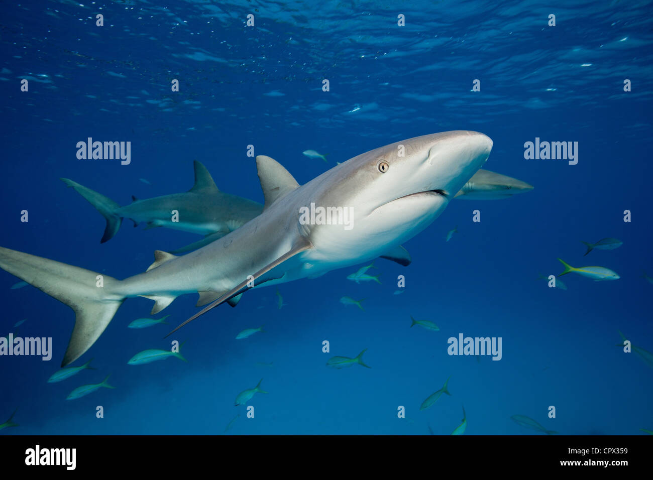 Reef Sharks in mid -water - Stock Image