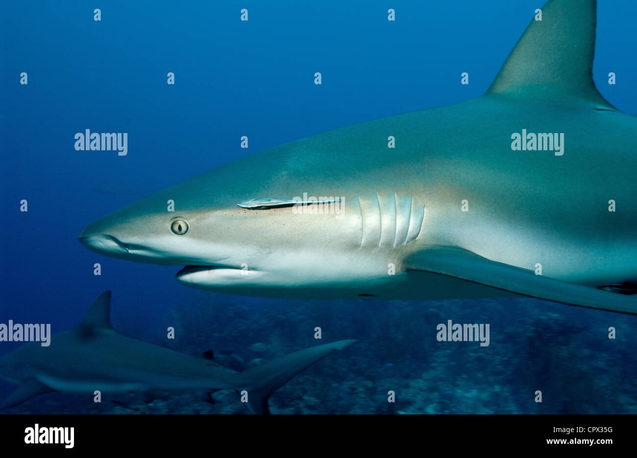 Caribbean reef sharks - Stock Image