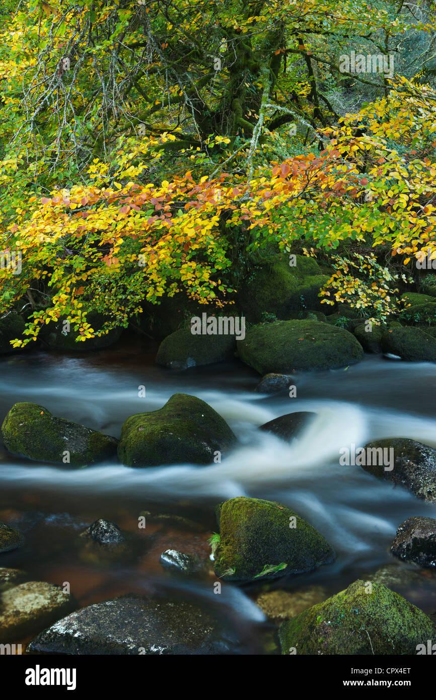 autumn colours along the East Dart River, Dartmoor, Devon, England, UK - Stock Image