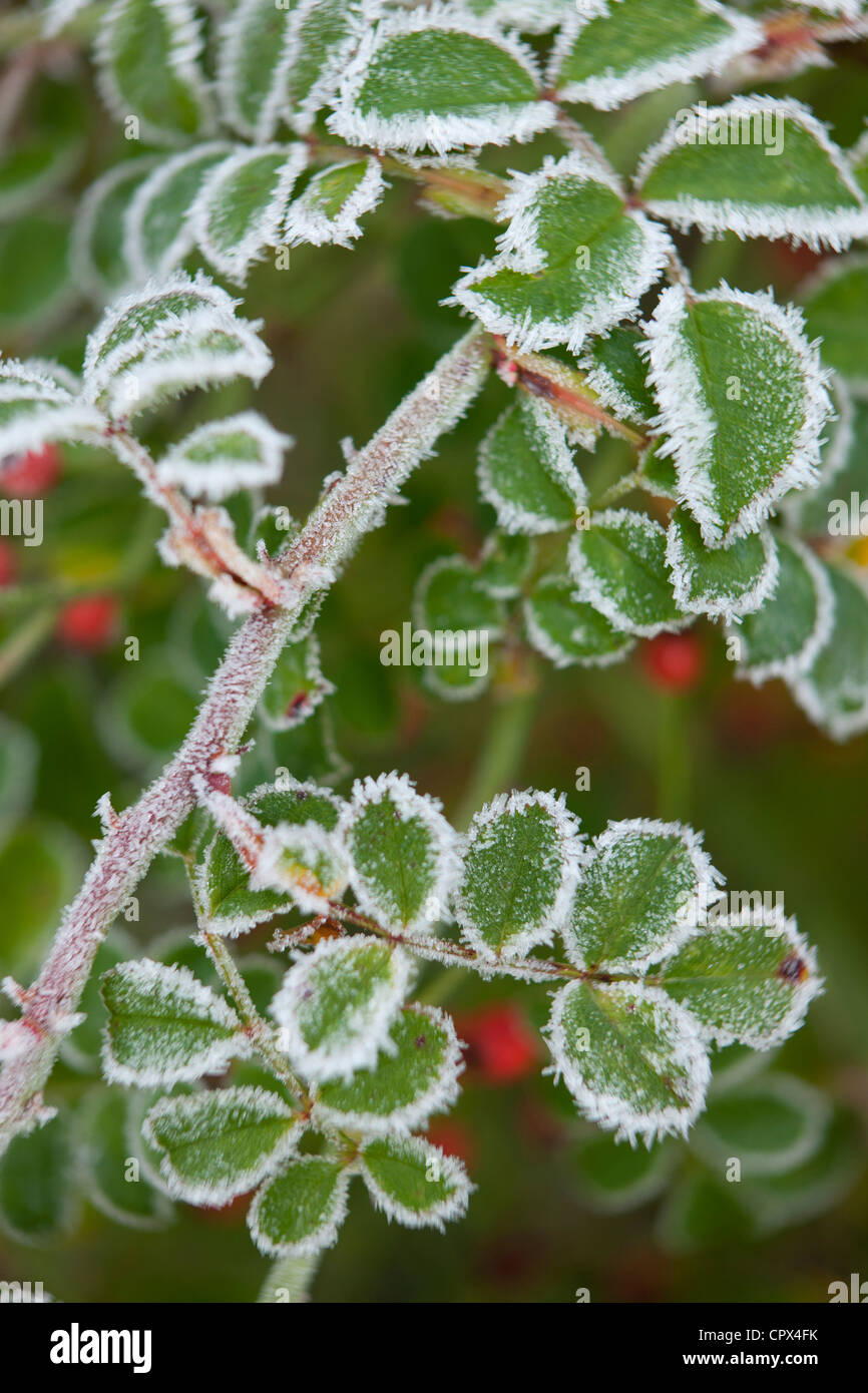 frost on rosehips in our garden, Somerset, England, UK - Stock Image