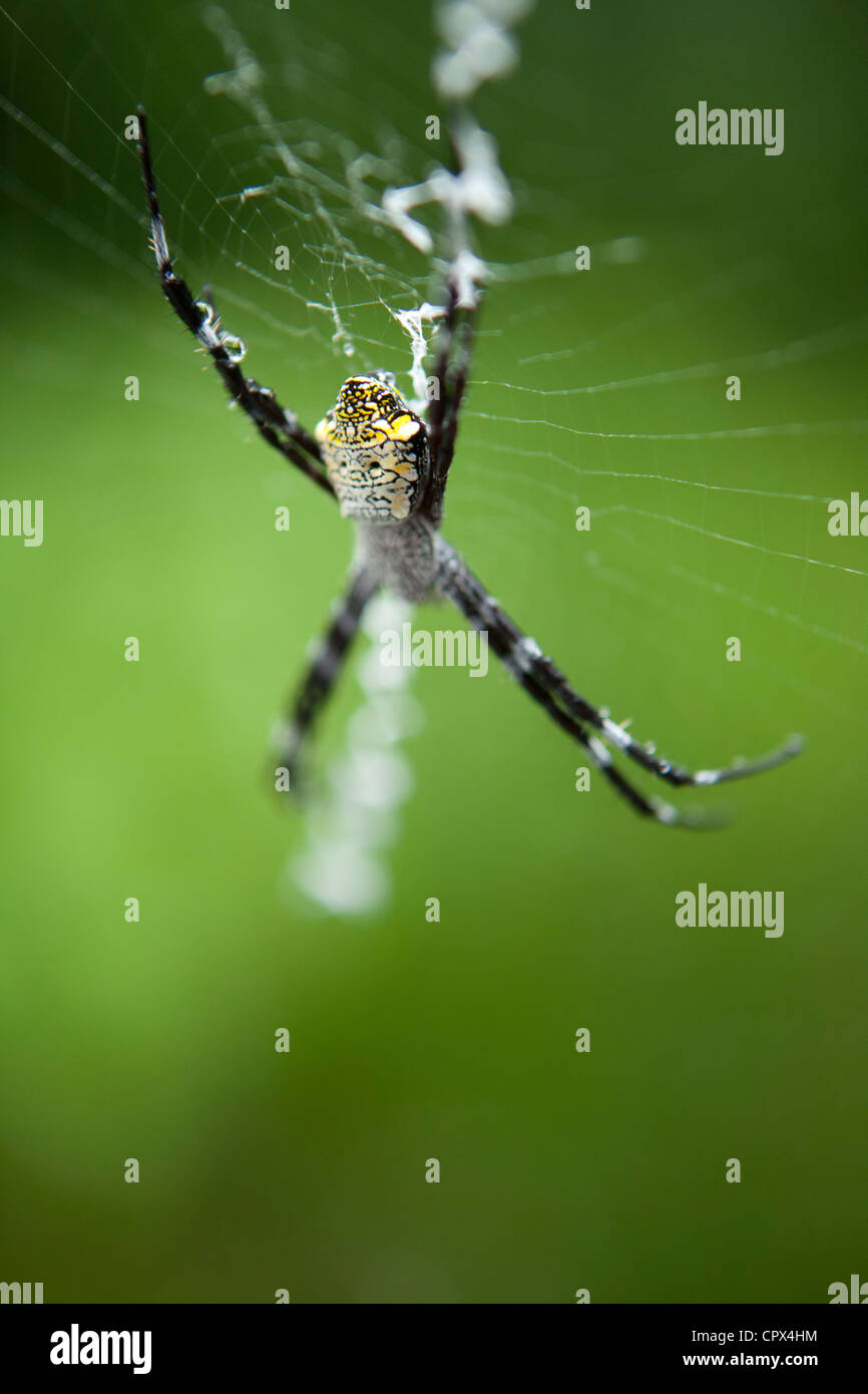 spider, Negros, The Visayas, Philippines Stock Photo