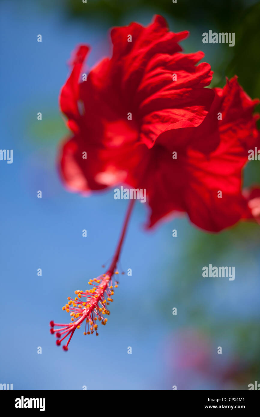 Asian hibiscus flowers stock photos asian hibiscus flowers stock hibiscus siquijor the visayas philippines stock image izmirmasajfo