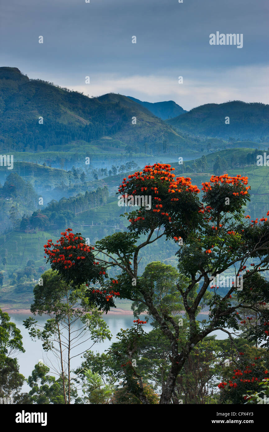 flame of the forest trees on a tea plantation near Hatton, Central Highlands, Sri Lanka - Stock Image